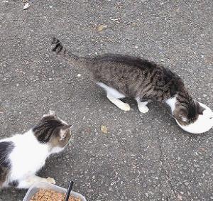 公園猫編、なつちゃん、お尻にテープが貼り付いてるで