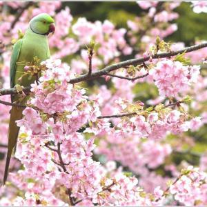 河津桜とインコ