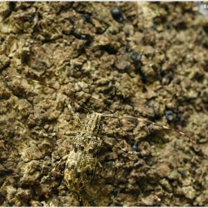 カミキリ6種