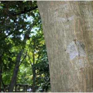 近所の公園虫散策・・・シャチホコガ