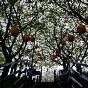 龍之介の日々 もう1回大寒桜と菜の花とどらごんず☆(家に来て4422日目)