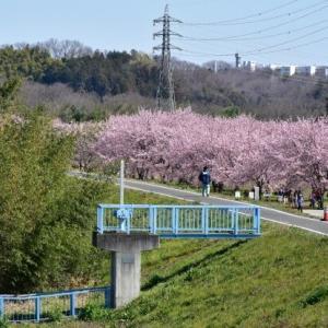 龍之介の日々 今年も安行寒桜♪(家に来て4425日目)