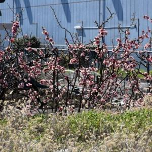 龍之介の日々 春めき桜を観に・・・♪(家に来て4429日目)