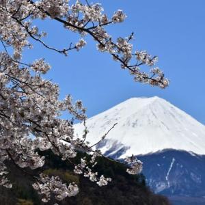 龍之介の日々 桜・富士山・どらごんず♪(家に来て4513日目)