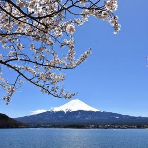 龍之介の日々 桜と芝桜のサンドイッチ♪(家に来て4514日目)