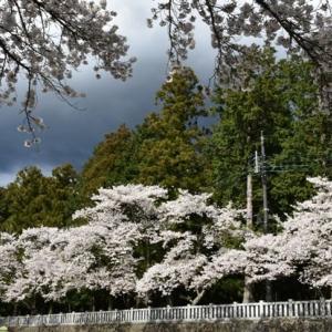 龍之介の日々 冨士御室浅間神社の桜♪(家に来て4516日目)
