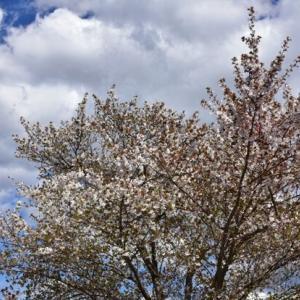 龍之介の日々 八木崎公園の桜♪(家に来て4515日目)