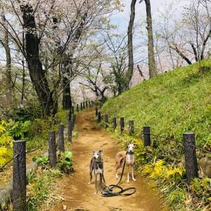 ことしの桜とボクたち