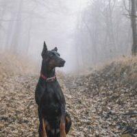Stutterheim レインコート 大きい犬にも ドーベルマン!