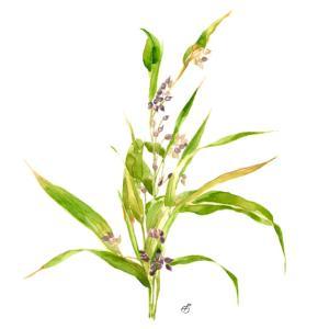 健康茶*ハトムギ vol.244