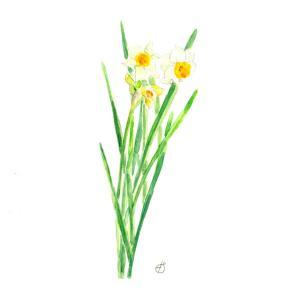 花便り*水仙 vol.255