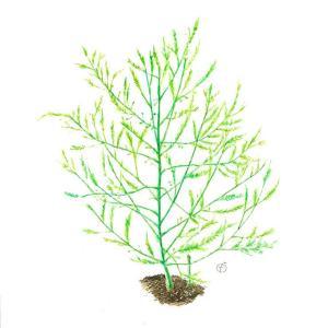 摩訶不思議な植物*アスパラガスvol.285
