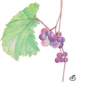 かわいらしさに一目惚れ*紫苑 冬ぶどう vol.320