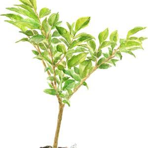 再び、この〜木何の木、木になる木〜♪ vol.395