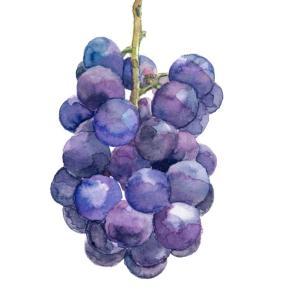 巨峰の生き残り*最高品質のブドウ「ベリーA」 vol.220