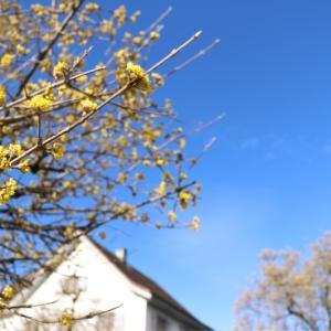スイス的 サンシュユが咲きました♪ と新型コロナウィルスのその後