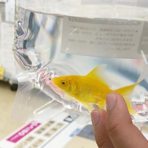 金魚を飼う & 不注意や失敗は絶対に怒ってはいけない話