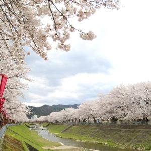 与保呂川千本桜・東舞鶴(2020.4.5)
