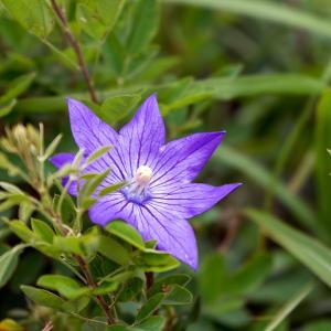 茅場に咲く朝貌の花(岩湧山)