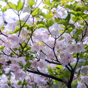 梅雨空に咲く大峰の花(行者還岳)