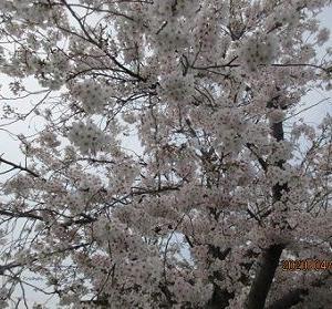 近所の神社で桜と古いものを見る。