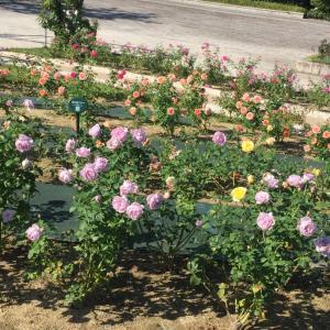 万博薔薇園