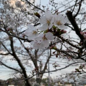 「桜」の話題