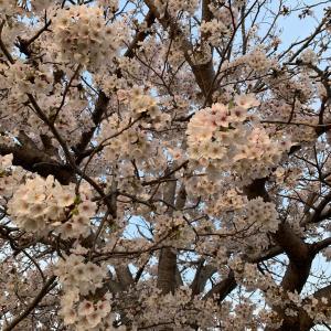 今日の「桜」