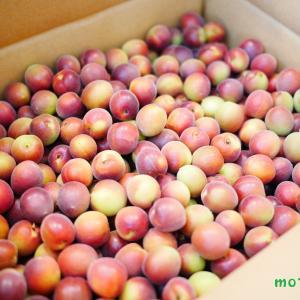 【photoレポ】6月2日㈫「真っ赤な梅シロップ作り」