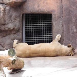 「 ライオン と 徒然草 」