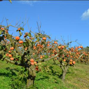 10月の柿畑はこんなカンジでございました♪♪
