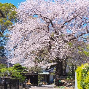 所沢市 澤田泉山寺子屋跡の桜