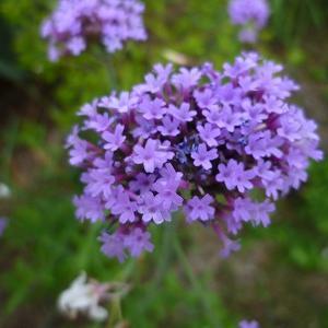 紫の花が咲いた