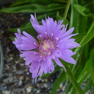 ストケシアの花