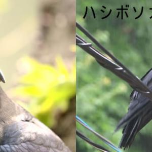 進化する【ジャングル・クロウ】