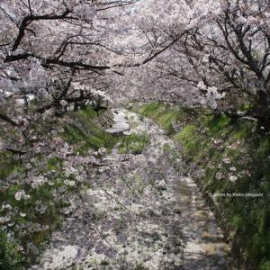 遠い桜:Fiori di ciliegio in lontananza