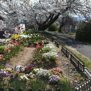 朝のウォークで桜見物