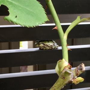 四国が梅雨入り。 小さなカエルをみつけました。