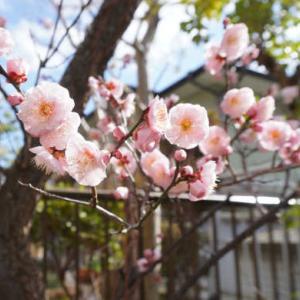 猫さんと梅の花