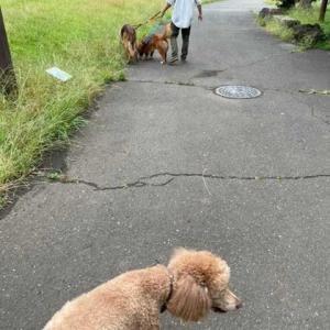 超大型犬は痛風です