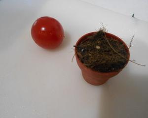 暇つぶしに買ったミニトマトの種を植えてみた!