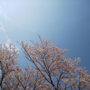 今年も変わらない桜の風景