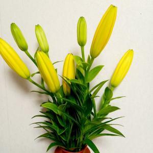 黄色のユリが鮮やかに咲いています