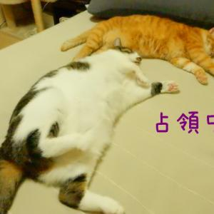 ベッド占領する猫達