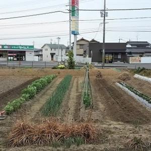 山芋の植え付け