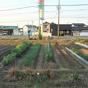 トウモロコシん定植