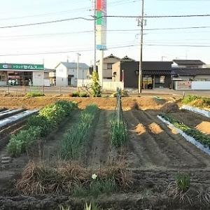 夏野菜の定植はじめ