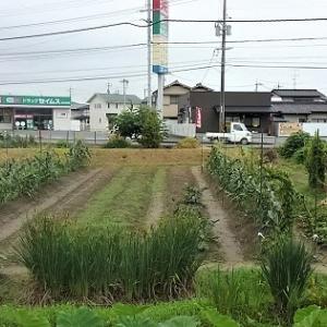 種無しスイカの初収穫