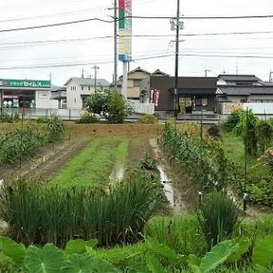 オクラの初収穫