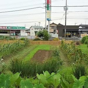 草場の里芋